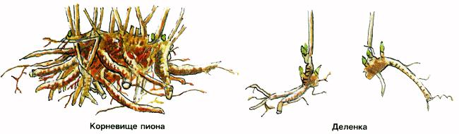 Когда и как правильно пересаживать пионы
